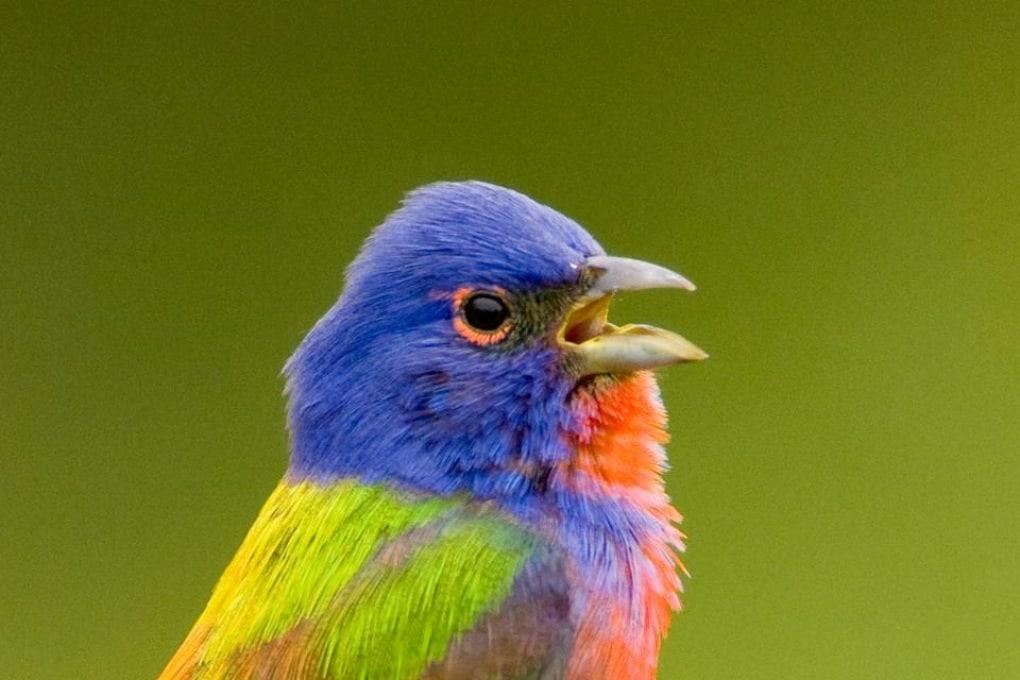 Il canto degli uccelli è simile al linguaggio dell'uomo