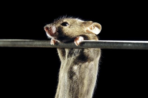 Mangiare poco allunga la vita (ai topi)