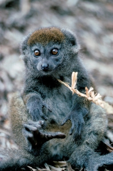 2-lake-alaotra-bamboo-lemur-by-russell-a