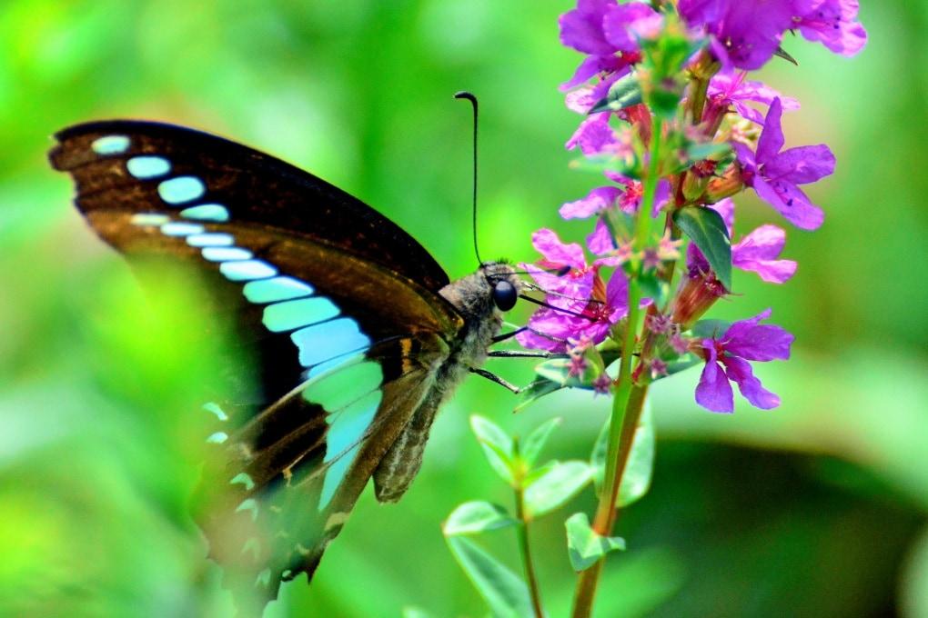 La farfalla con 15 tipi di fotorecettori