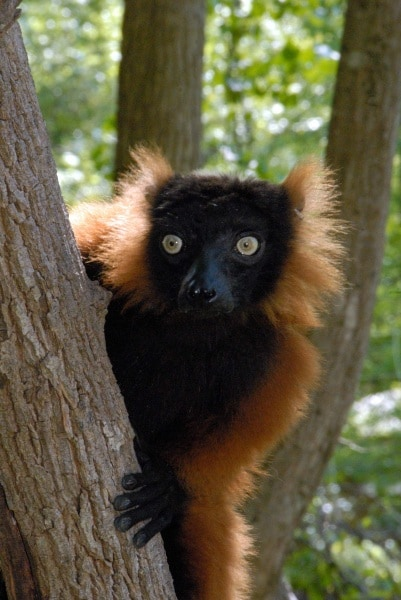 3a-red-ruffed-lemur-by-russell-a