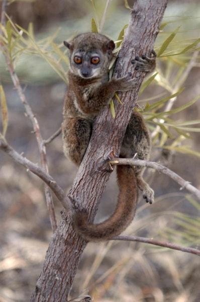 4-northern-sportive-lemur-by-edward-e