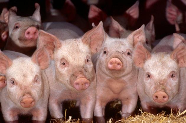 Embrioni di maiale con organi umani
