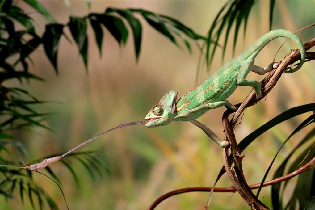La bava viscosa dei camaleonti