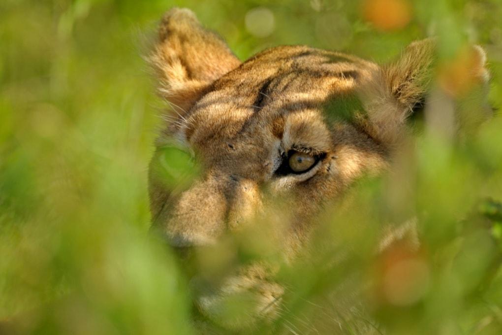 Popolazione nascosta di leoni scoperta in Etiopia