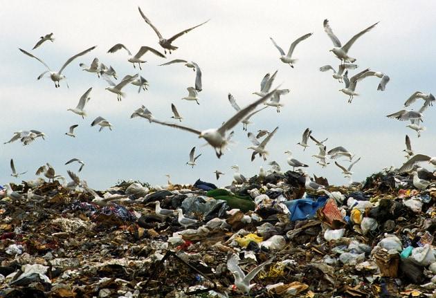 Entro il 2050 il 99% degli uccelli marini avrà ingoiato un po' di plastica