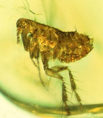 Nell'ambra il più antico batterio della peste