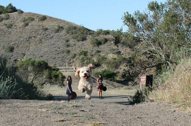 L'illusione dei cani giganti