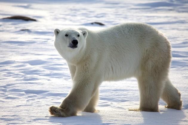 La fame attanaglia gli orsi bianchi
