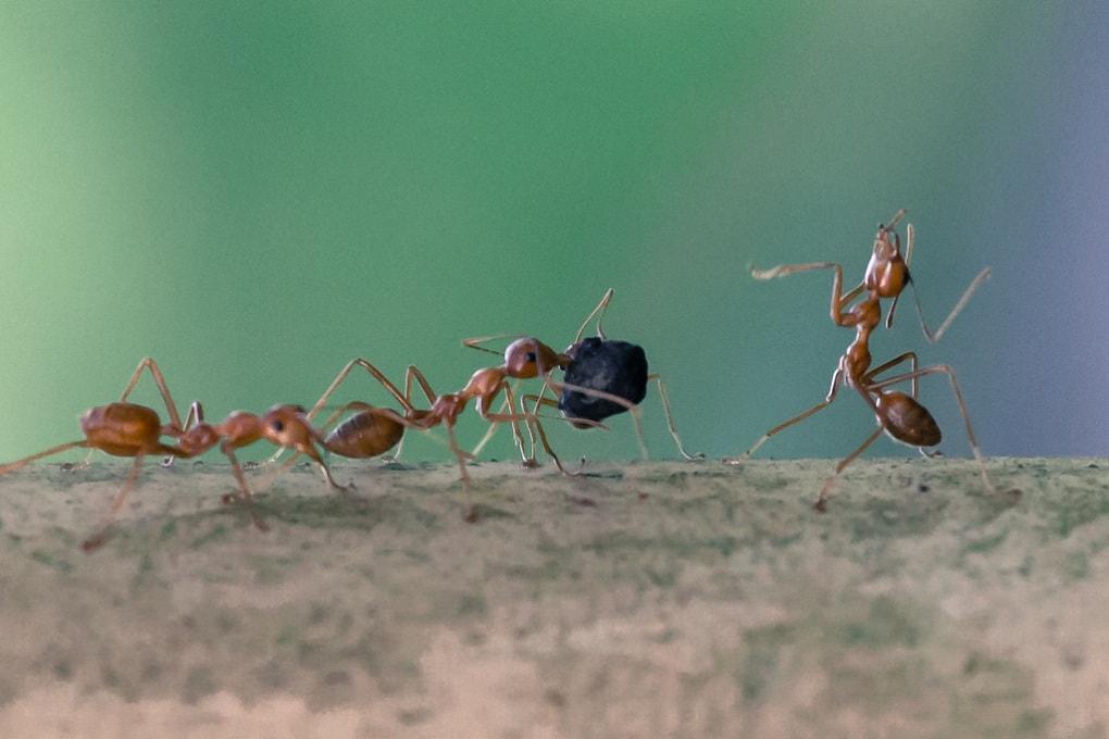 Così le formiche trasportano carichi pesanti