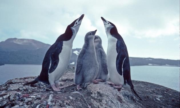 pinguinibas