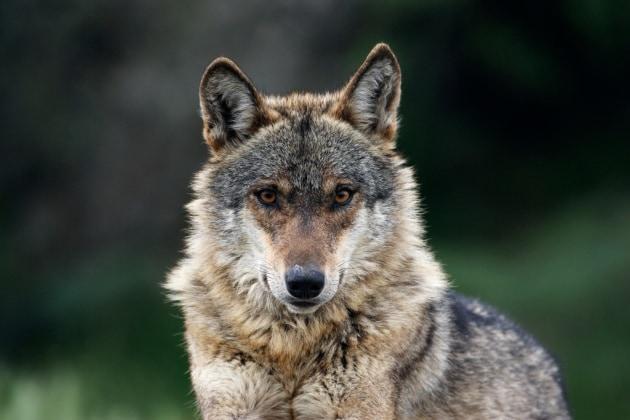 Come i lupi divennero cani
