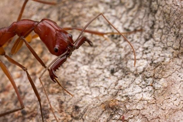 Wordwarnews le fughe strategiche delle formiche trappola for Debellare formiche