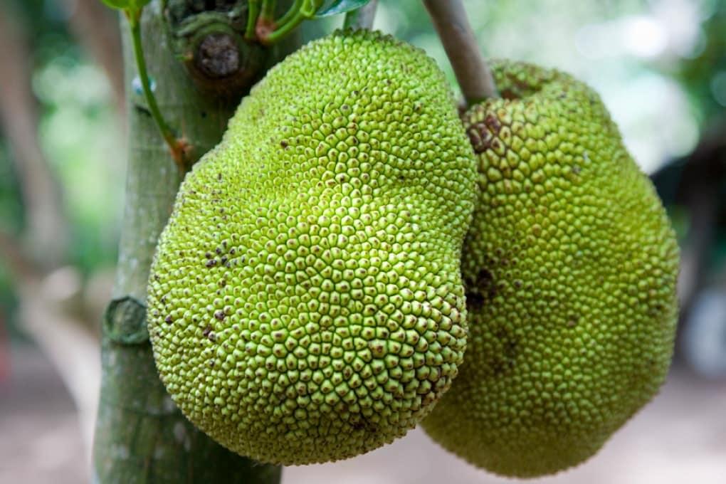 Giaca, il gigantesco frutto multiuso
