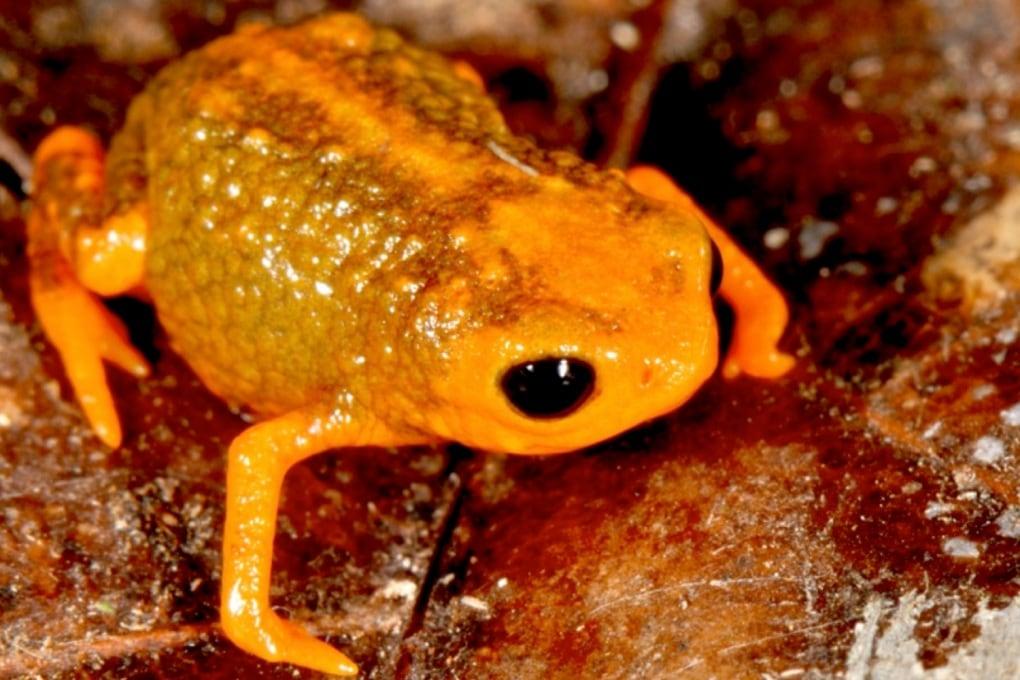 7 nuove specie di mini-rane scoperte in Brasile