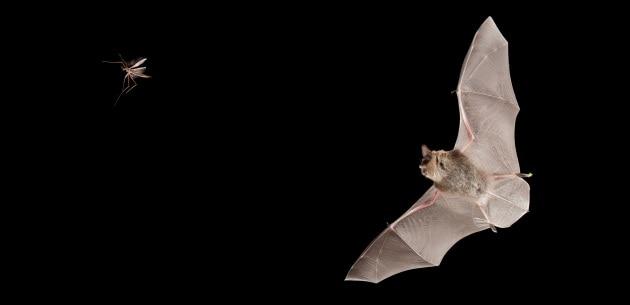 Bat box pipistrelli contro le zanzare for Le zanzare non pungono i malati