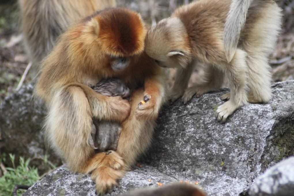 Le rare immagini di una scimmia levatrice
