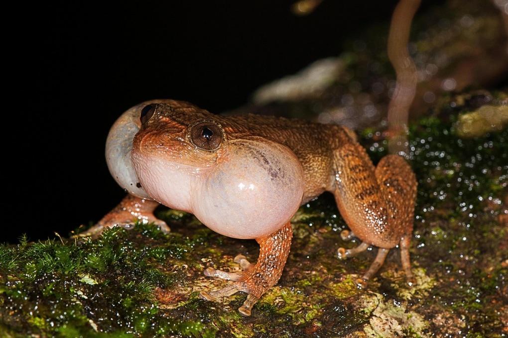 La strategia di accoppiamento di una rana notturna
