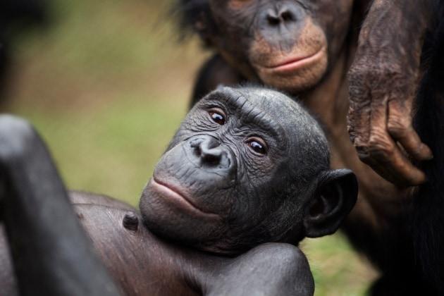 I bonobo, campioni di empatia