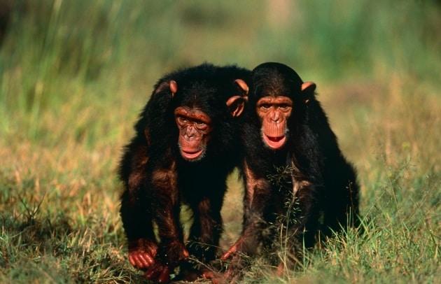 Anche le amicizie tra scimpanzé si basano sulla fiducia