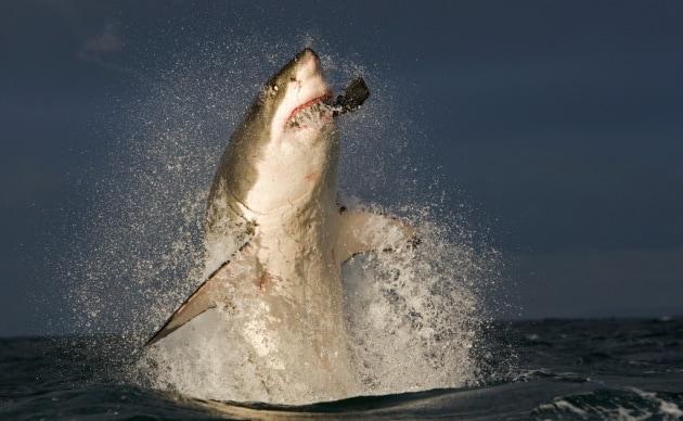 Gli attacchi di squali sono in aumento?