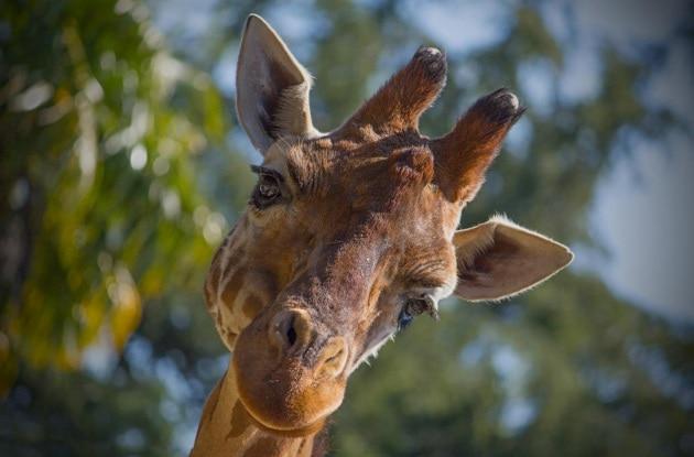 I geni che plasmano il corpo della giraffa