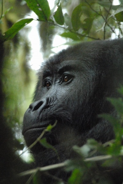 10-grauers-gorilla-by-russell-a