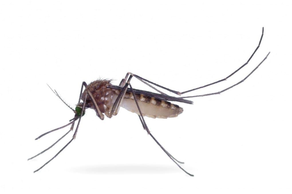 Perché le zanzare ci ronzano vicino alle orecchie?