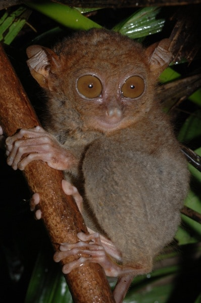 11-philippine-tarsier-by-russell-a