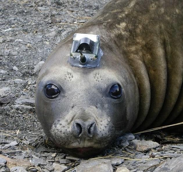 Le foche - scienziate del Polo Sud