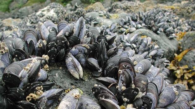 cc_mussels_16x9