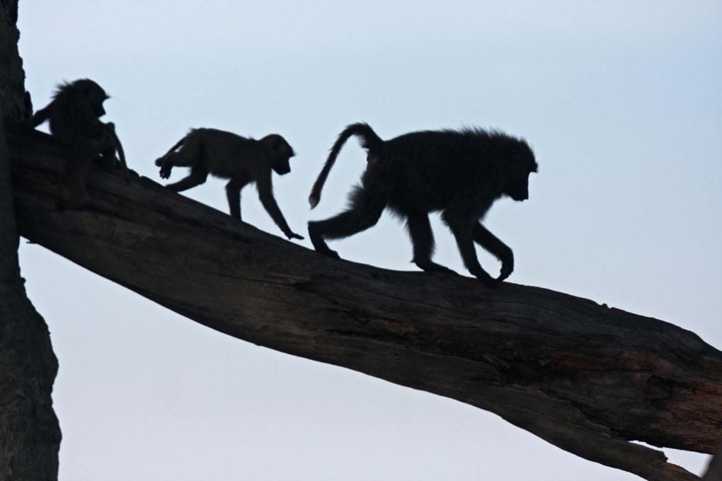 La democrazia delle scimmie