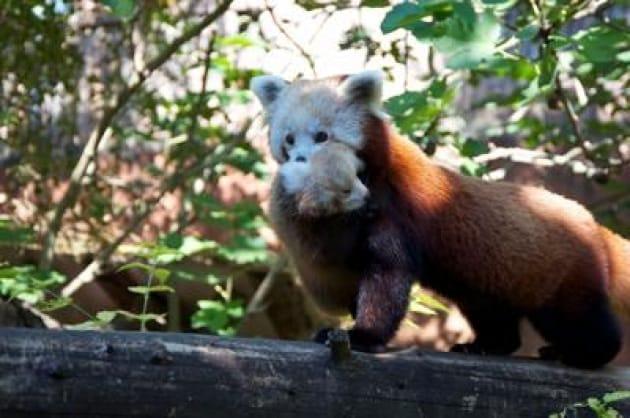 Red Panda Day, sabato la prima uscita dei cuccioli nati al Parco Natura Viva