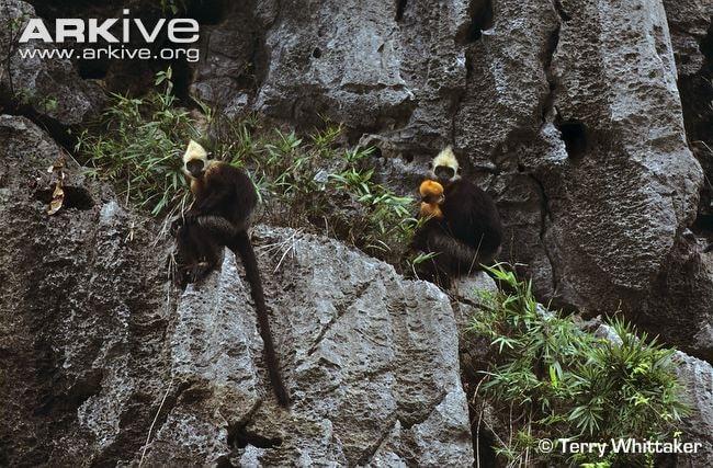 14-cat-ba-hooded-black-langur-pair-on-rock-one-holding-infant