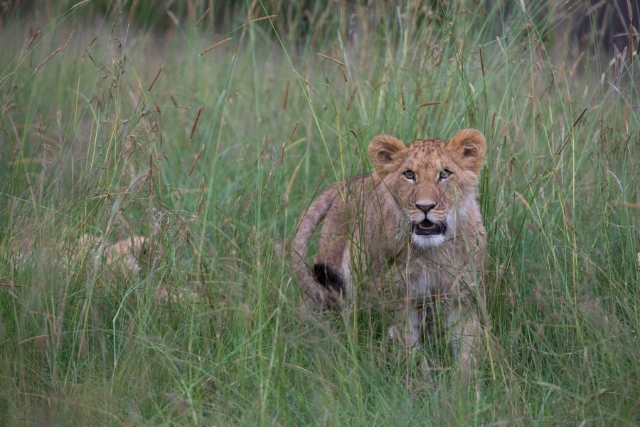 2016_01_12_kenyalive_day_06_lion_cubs_jpeg_resized_0010