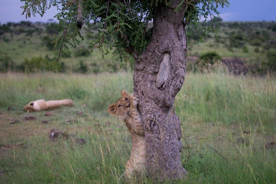 2016_01_12_kenyalive_day_06_lion_cubs_jpeg_resized_0012