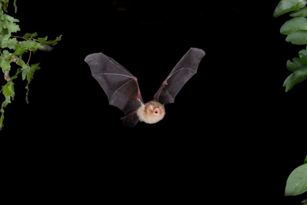 Uomo e pipistrelli analizzano i suoni in modo simile
