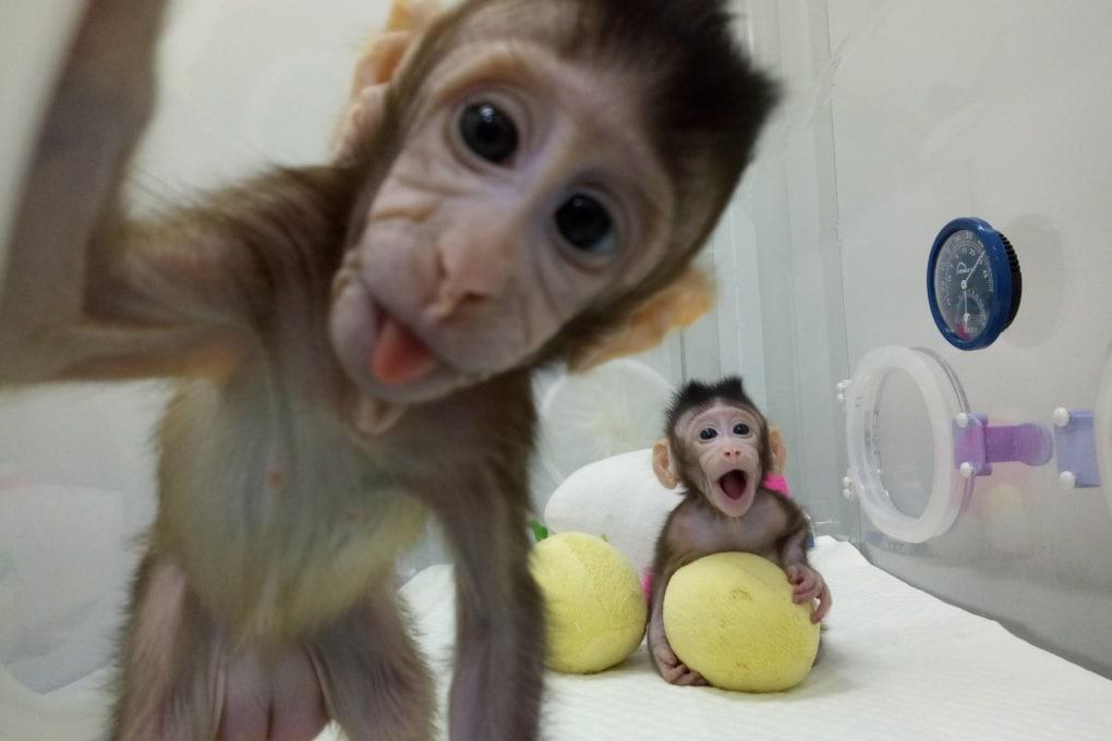 La prima clonazione di primati non umani