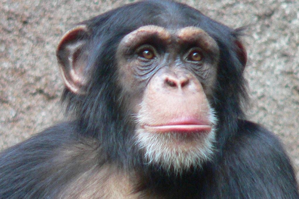 Le scimmie sanno quando ci sbagliamo