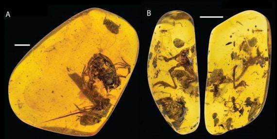 rane, raganelle, Electrorana Limoae, Giurassico, Cretaceo, Oligocene, resina, ambra, fossili