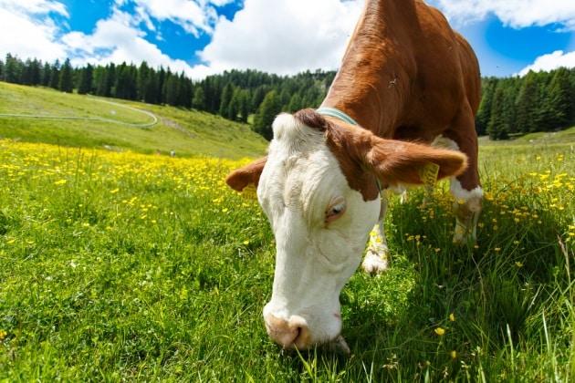 Chirurgia: l'uomo del Neolitico si esercitava sui bovini?
