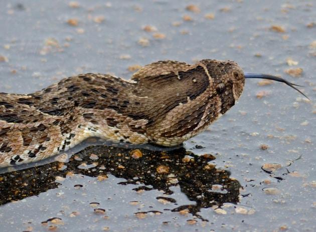 La lingua-esca della vipera soffiante