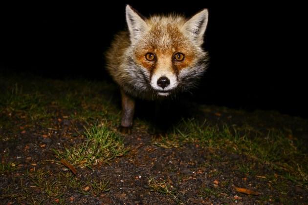 Incontri inaspettati: faccia a faccia con la volpe