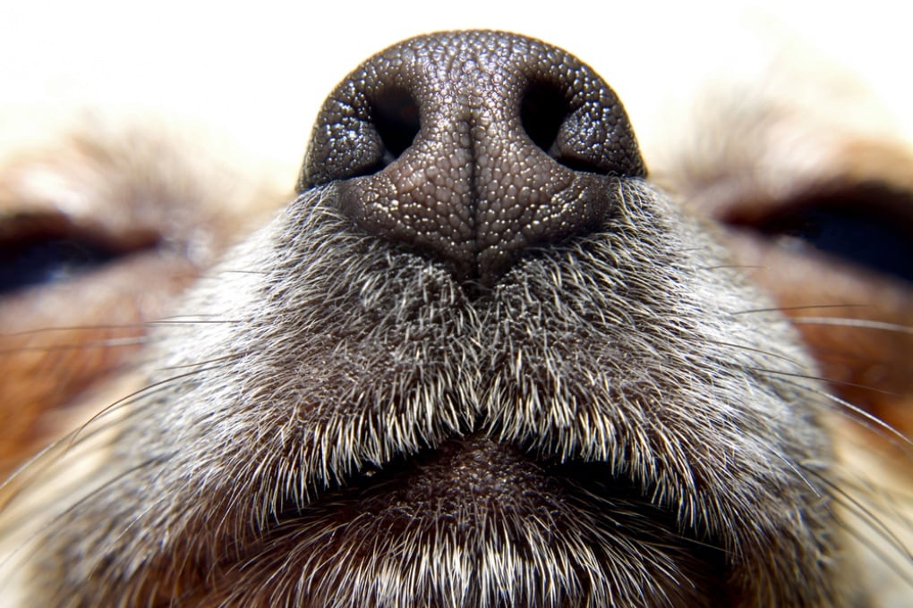 Fiuto di cane per annusare i tumori