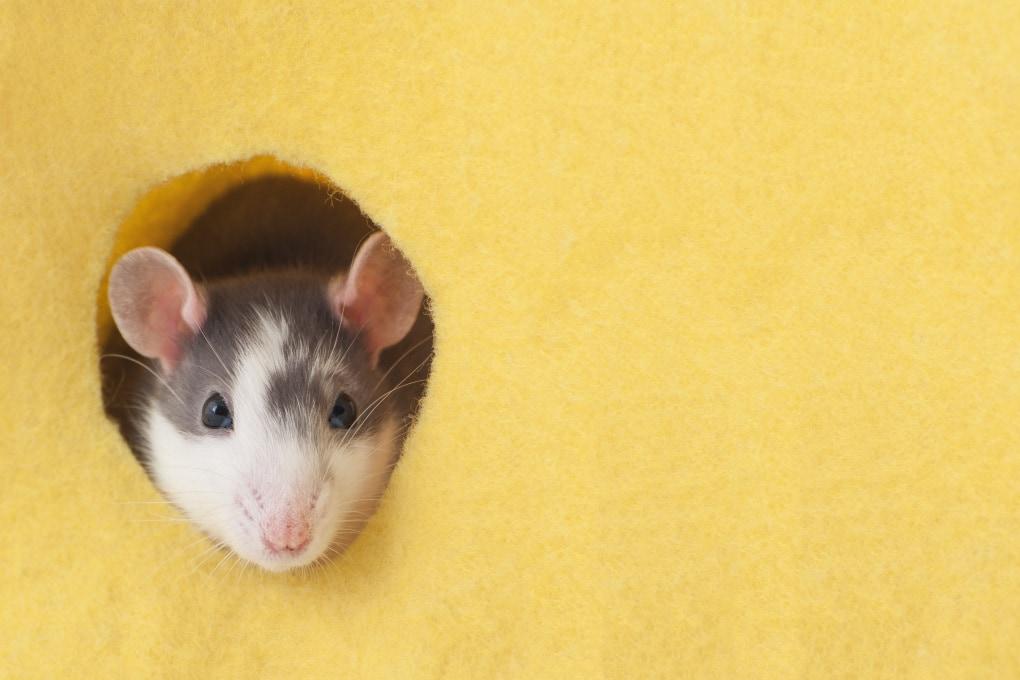 La Georgia del Sud ripulita da ratti e topi