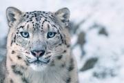 242-243-leopardo-delle-nevi