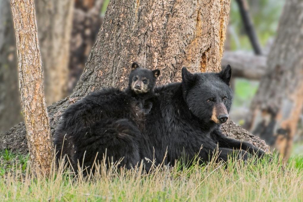 Gli orsi in letargo vanno di corpo?