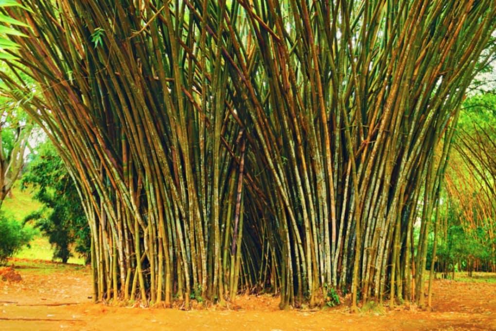 Qual è la pianta che cresce più velocemente?