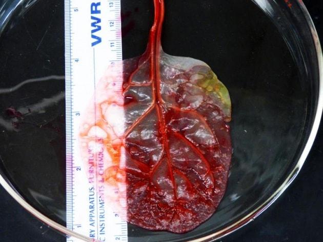 La foglia di spinacio trasformata in cuore umano