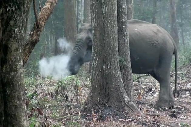 Questo elefante selvatico fuma carbone